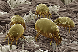 dust mite fp